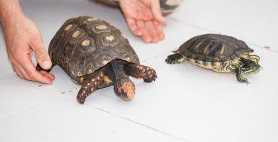 tortugas de diferentes especies