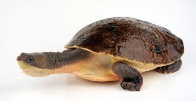 Tortuga de Nueva Guinea