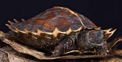 tortuga espinosa