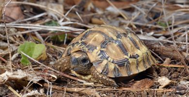 tortuga articulada de la sabana