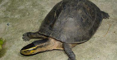 tortuga caja de malasia