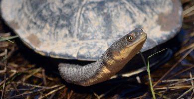 tortuga cuello de serpiente