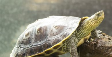 tortuga de cuello rallado