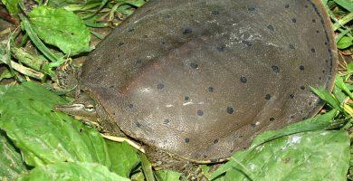 Tortuga espinosa de concha blanda