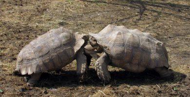 pelea de tortugas