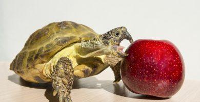 tortuga comiendo manzana